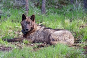 Oregon delists wolves, but protections remain