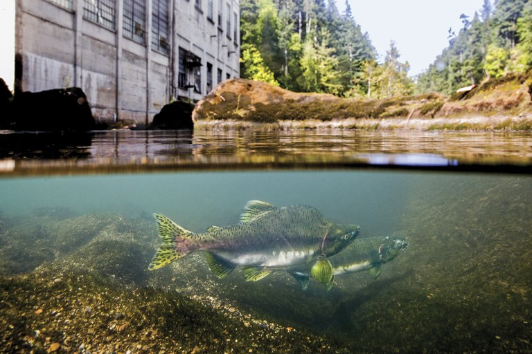 Prevented from migrating any further upstream, a spawning pair of pink salmon flirt over a gravel bed a stone's throw from the now removed Elwha Dam powerhouse in a scene from DAMNATION.