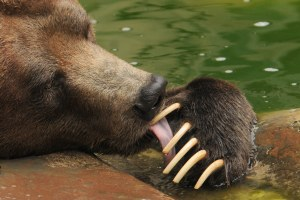 People are grizzly food — and that's OK