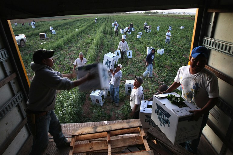 Migrant farm workers from Mexico harvest organic spinach while working at the Grant Family Farms in Wellington, Colorado in Sept. 2010. The farm, the largest organic vegetable farm outside California, hires some 250 immigrant workers during the peak harvest season.