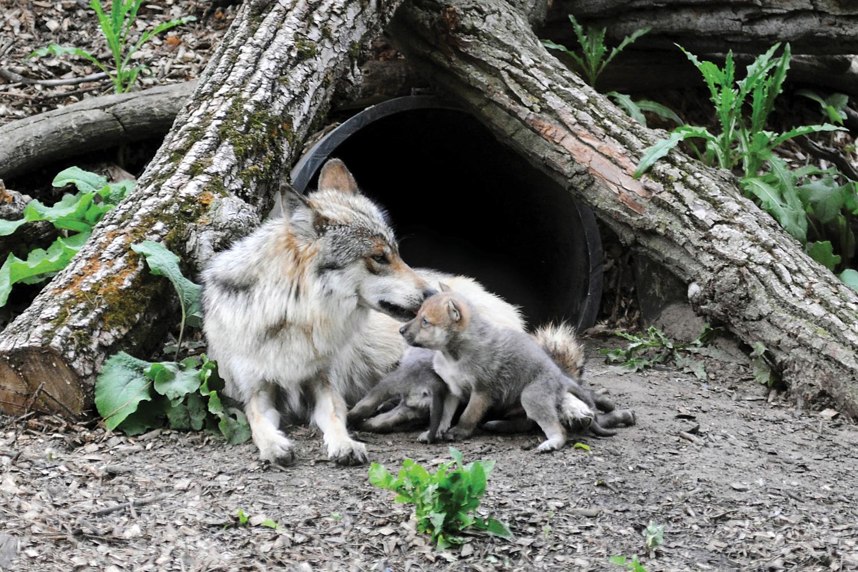 предназначением дыхательного корни волк фото картина шли