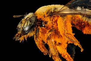 See the West's overlooked pollinators — like never before