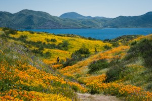 California's desert wildflowers burst into bright 'super bloom'