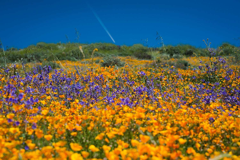 california u0027s desert wildflowers burst into bright u0027super bloom