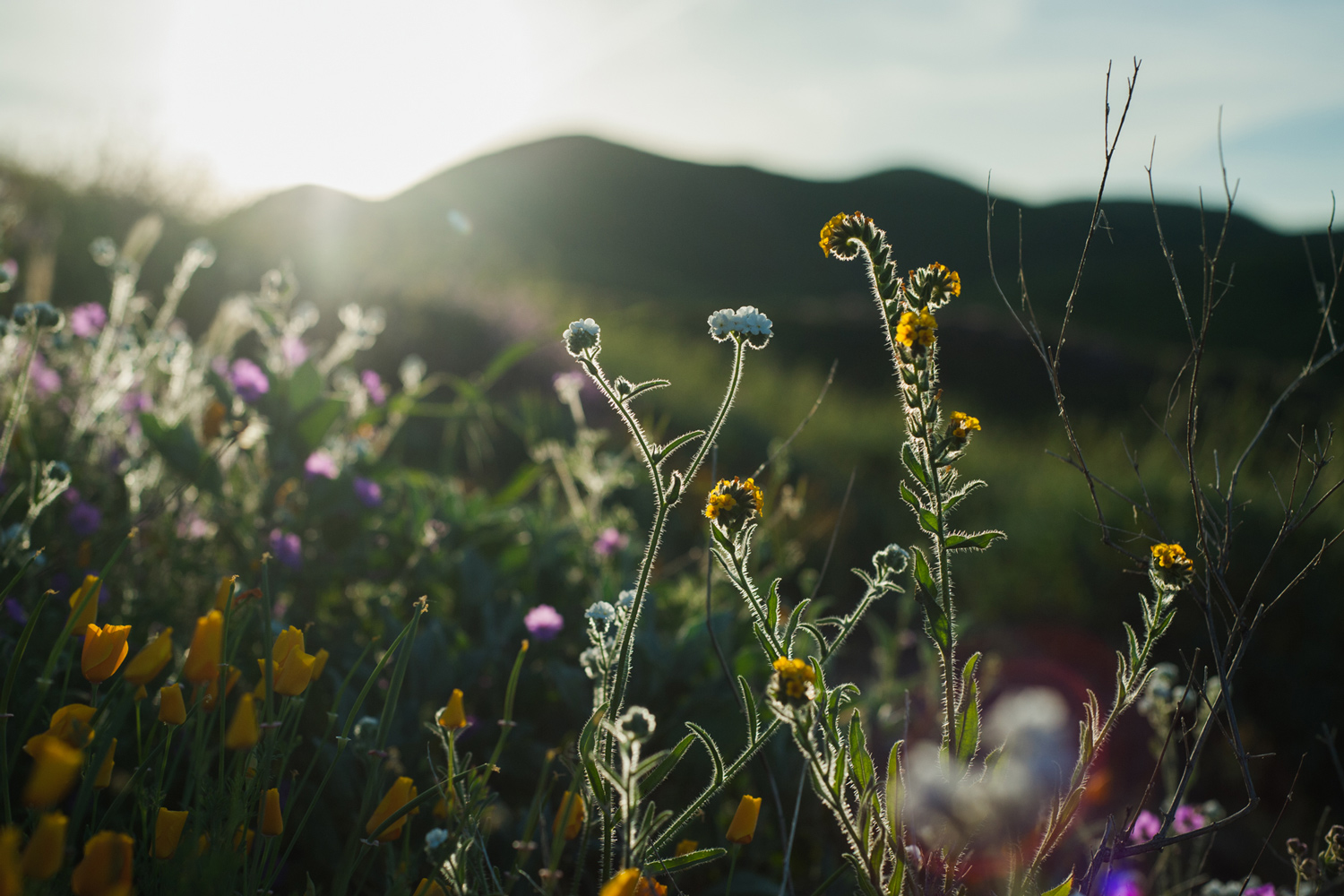 Californias desert wildflowers burst into bright super bloom popcorn flowers white and ranchers fiddleheads yellow grow among other wildflowers at walker canyon in lake elsinore california mightylinksfo