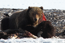 How a warming Arctic affects Yellowstone grizzlies