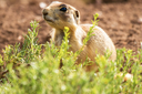 Prairie dog case challenges ESA