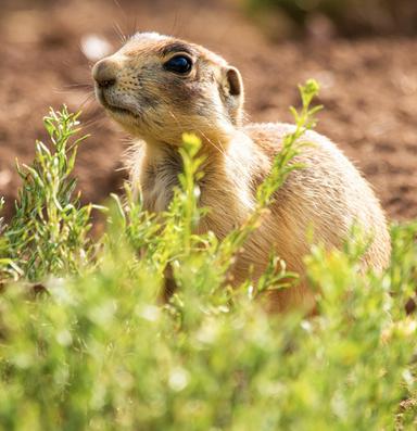 Prairie dog case challenges ESA