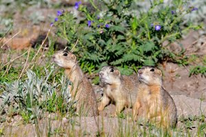 In a prairie dog colony, the power dynamics of modern America