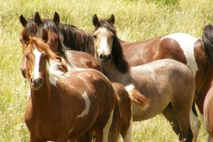 PZP: Where hope, science and mustangs meet