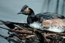 Ducks Unlimited fires writer over stream access fracas