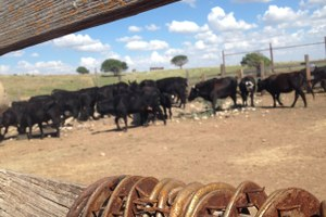 Ranch Diaries: Is it worth it to raise our calves 'naturally'?