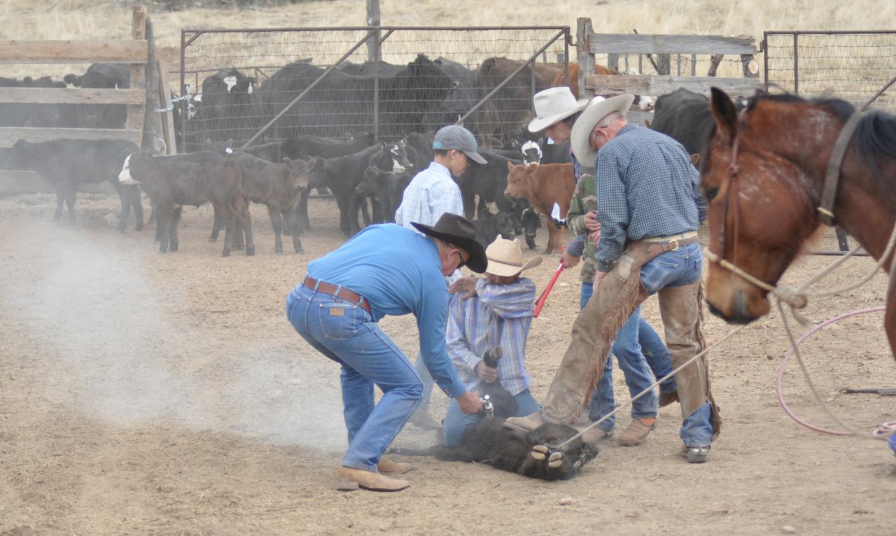 Do cattle farmers still brand their cattle? - ansaroo.com