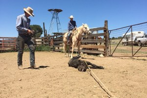 Ranch Diaries: How the Triangle P grazes on tribal lands