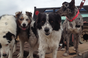 Ranch Diaries: One dog can be worth three hands