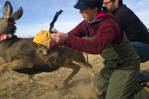 Research seeks reasons for demise of mule deer