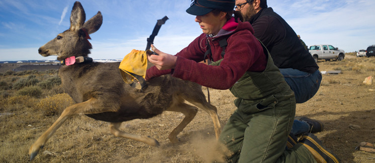 Capturing mule deer.