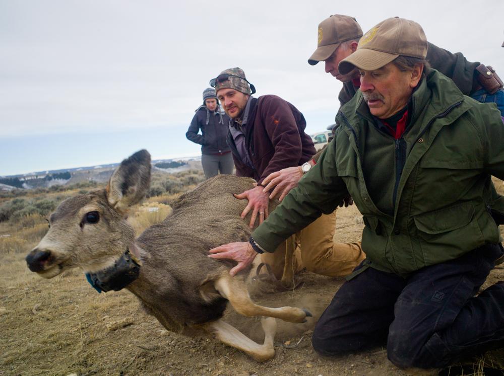 Releasing a deer.