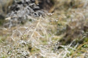 Researchers find an answer to invasive cheatgrass