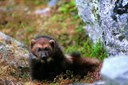 Science trumps politics for wolverines