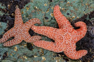 Rapid evolution saved the starfish