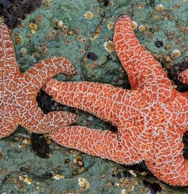 Rapid evolution saved the starfish
