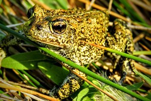 Recently discovered toad species already face threats