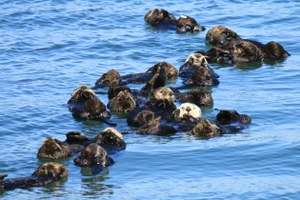 Sea otters on the rise, but shark bites stall range growth