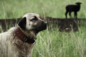 Video: Guardian dogs