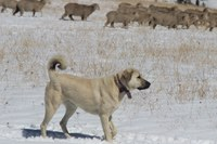Sheep wars rage on in southwest Montana