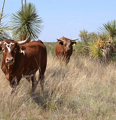 In the Southwest, a sustainable breed of cattle