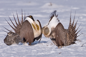 New state and fed efforts to protect sage grouse