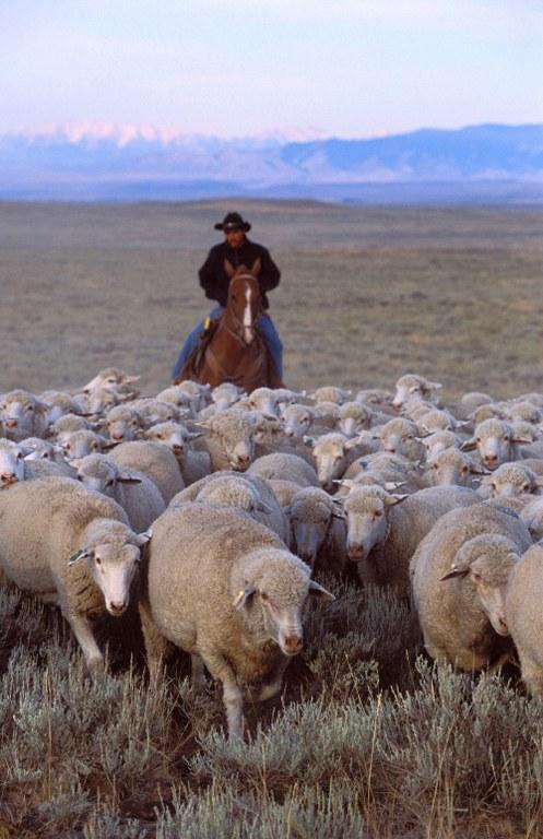 ars_sheep_herding-jpg