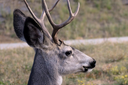 New research on how drilling affects deer in northwest Colorado