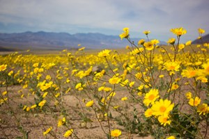 A rare ecological event: 'super bloom' in Death Valley