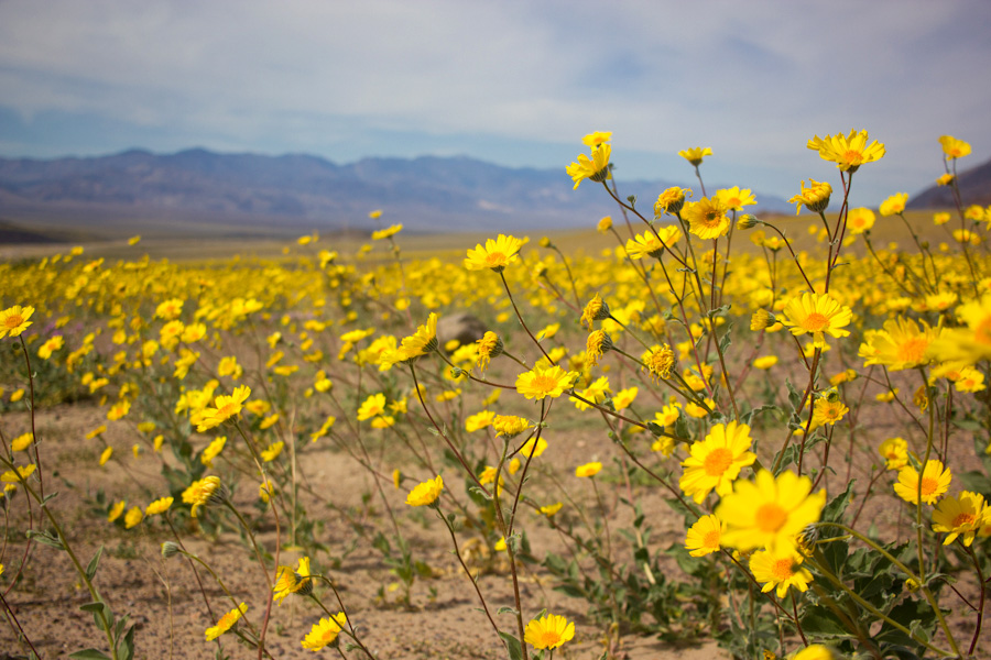 A rare ecological event super bloom in death valley high the arid park is covered in wildflowers for the first time in a decade mightylinksfo
