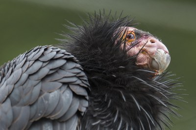 The case against condors in Hells Canyon