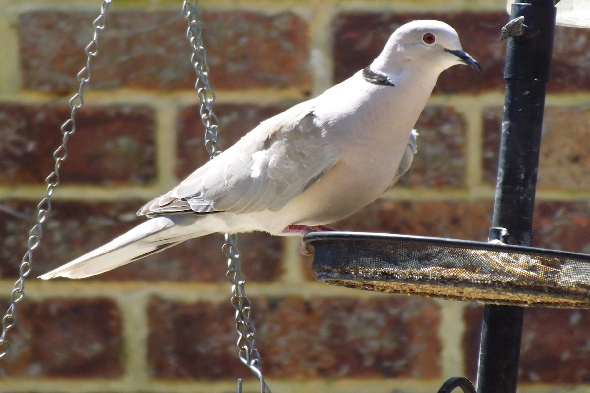 Should we accept invasive species that dont cause harm high a collared dove a symbol of peace across north america is an invasive species buycottarizona