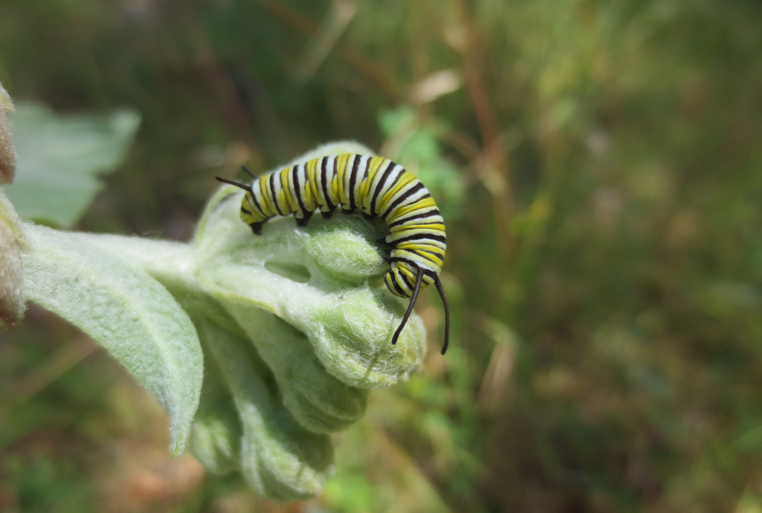A Monarch Butterfly Caterpillar On Showy Milkweed, An Important Host Plant  For Western Monarchs After They Leave Overwintering Sites In California.