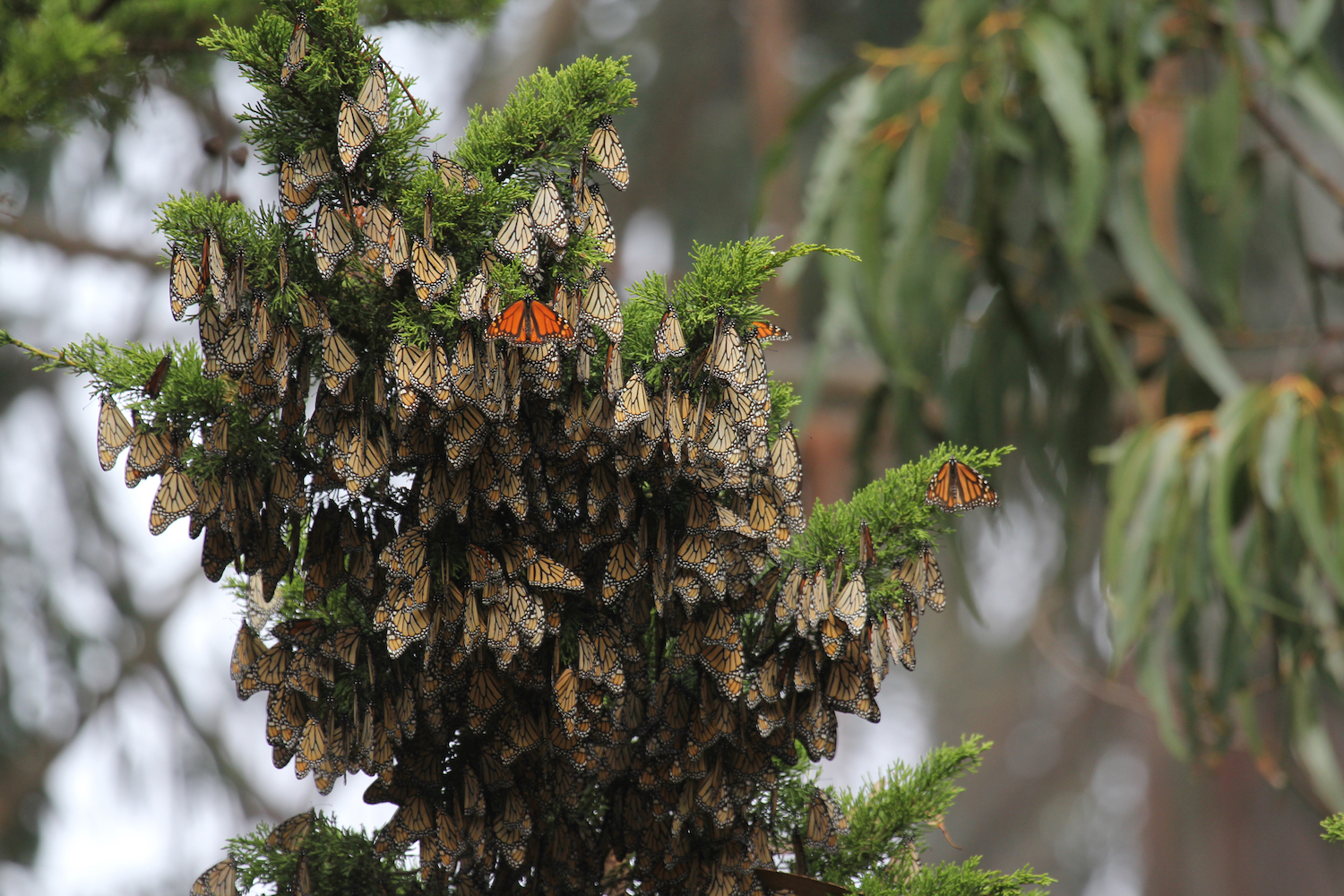 Overwintering Monarchs Sheltering On The Underside Of A Branch Of Monterey  Cypress In California.