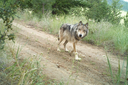 Mapping wolf dispersal