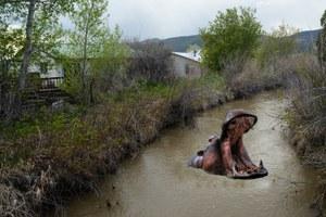 Hippos spark management debate