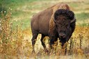 The science behind Yellowstone's bison cull