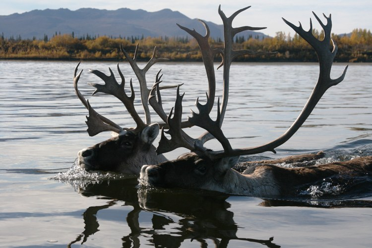 Though virtually extirpated in the contiguous States, caribou have flourished in Alaska. However, the Arctic is rapidly changing. Climate change and industrialization threaten caribou habitat and migratory patterns, which can involve circuits of nearly 2,000 miles. Here, two bulls swim across the Kobuk River. Their hollow hair, wide hooves and powerful legs make them very buoyant and strong swimmers.