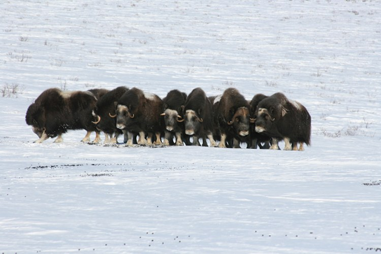 "Muskoxen were extirpated from Alaska in the 1800s, then reintroduced in the 1970s. In western Alaska, muskoxen populations have fared well, however, climate change may threaten this Arctic-adapted species. Icing events, which are predicted to increase, could ""lock away"" winter forage. Loss of sea ice has the potential to increase storm surges that kill muskoxen."