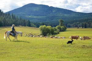Range riders track wolves in eastern Washington