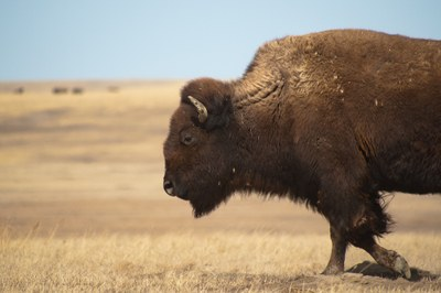 How the Indigenous bison bar was appropriated