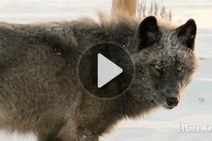 Video: Still howling wolf