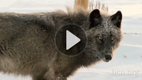 Video: Still howling wolf