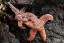 Virus implicated in starfish wasting disease